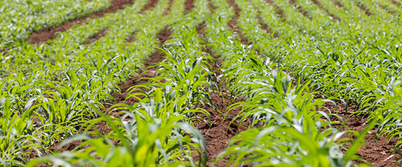 youngcornplants580