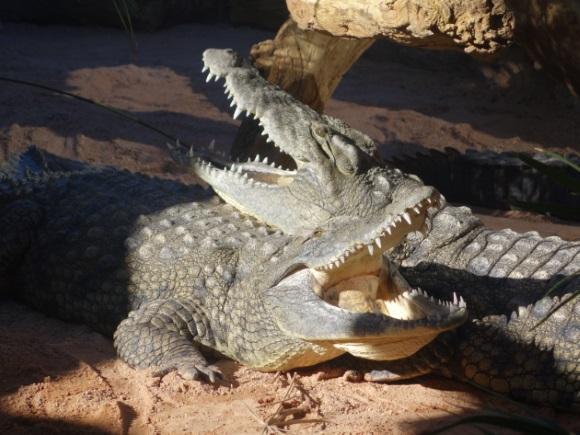 Crocodiles_Resting