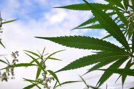 marijuana cannabis plants outdoor sky